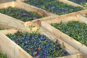maine-blueberries1